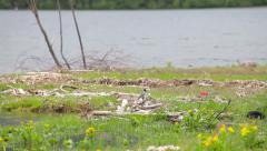 White Wagtail on the shore of Lake Teletskoye Stock Footage