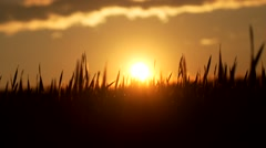 Fields of gold - summersun Stock Footage