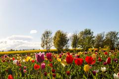 colorful tulip flowers on the Field - stock photo
