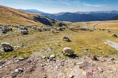 Flock of sheeps eating grass on top of the mountain in Romania Stock Photos
