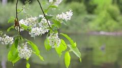 Flowering cherry Stock Footage