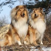 Two beautiful scotch collies in the forest - stock photo