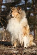 Stock Photo of Beautiful scotch collie in the forest