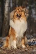 Beautiful scotch collie in the forest Stock Photos