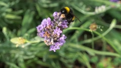 Bee gathering the pollen 1 Stock Footage