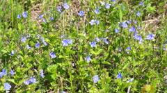 Little purple wildflowers Stock Footage