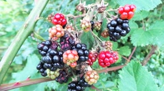 Fruit of blackberry 1 - stock footage