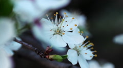 Blossoming apple flower close up - stock footage