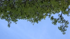 Maple tree twig blooms. 4K Stock Footage