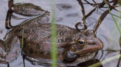 frog in the water among aquatic vegetation. - stock footage