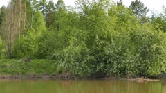 Lilac bush on the bank. River Serga, Urals, Russia. 1280x720 Stock Footage