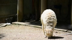 Stock Video Footage of white alpaca grazing on the soil