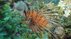 Lionfish colorful coral reef Stock Footage