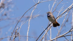 Male bluethroat (Luscinia svecica) sits on a branch Stock Footage