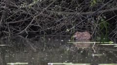 Muskrat feeds on the leaves of trees Stock Footage