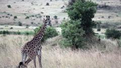 Young baby giraffe walking, Masai Mara savannah, safari Kenya (color reduced) Stock Footage