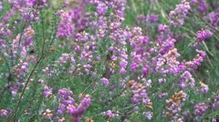 Fields of lavender - stock footage