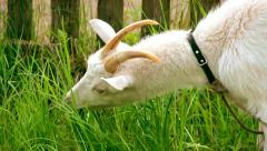White goat feeding. Goat on farm. Goats eating long fresh green grass. Farming. Stock Footage