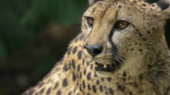 Hungry cheetah waiting for food - slow motion closeup Stock Footage
