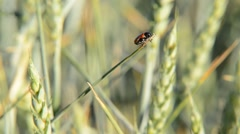 Detail of wheat field with a ladybird,locked down Stock Footage
