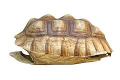 African spurred tortoise or geochelone sulcata shell Stock Photos