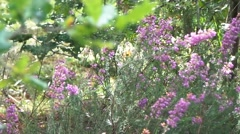Fields of lavender in the forest - stock footage