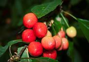 Stock Photo of Bunch of ripe sweet cherry