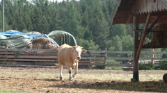 A group of cows resting in cattle farm Stock Footage