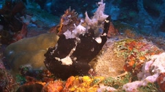 Painted Frogfish Stock Footage