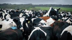 Large Herd Of Cows Shoving And Mounting - stock footage