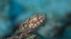 Lizardfish macro underwater Stock Footage