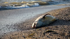 Dead dolfin on beach Stock Footage