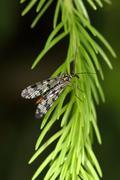 Common scorpionfly Stock Photos