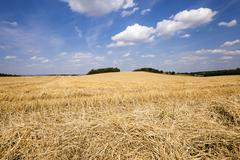 slanted wheat - stock photo