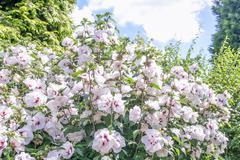 Hibiscus flowers - stock photo