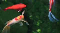 Beautiful koi, fancy carp swimming in a pond - stock footage