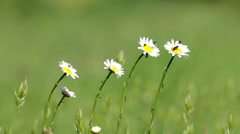 Beautiful white daisy growing in a summer garden.(Leucanthemum vulgare) Stock Footage