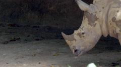 White rhinoceros head standing still - 4k Stock Footage