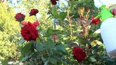 Protection of roses from vermin and diseases. - stock footage