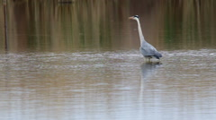 Great Blue Heron fishing in the low lake waters Stock Footage
