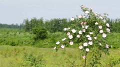 Beautiful blooming wild rose bush Stock Footage