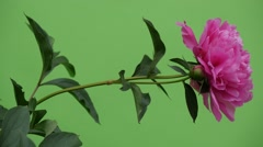 Pink Peonies And Milfoils Wavering Flowers Brignt Green Background,Chromakey Stock Footage