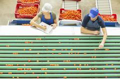Workers examining tomatoes at conveyor belt in food processing plant - stock photo