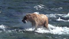 Brown Bear Sow Uses Snorkeling to See Fish then Dives and Catches Salmon Stock Footage