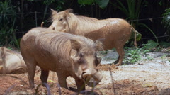 Common warthog in mud - CLIP 1 Stock Footage