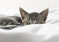 Kitten peering over blankets - stock photo