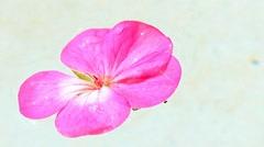 Geranium flower floats on water Stock Footage
