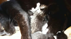 Kittens suck breast milk from cats Stock Footage