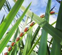 Ladybugs crawling up leaf - stock photo