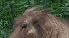 Common warthog in mud - CLIP 3- close-up of ear and eye Stock Footage